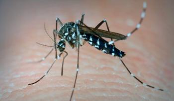 Aedes aegypti, una delle zanzare responsabili della trasmissione di virus come il Zika, il Dengue, il Chikungunya, la Febbre Gialla.