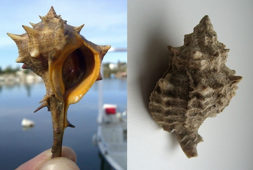Bolinus brandaris ed Hexaplex trunculus a confronto (Ph. Lynne Gentry - Dezidor)