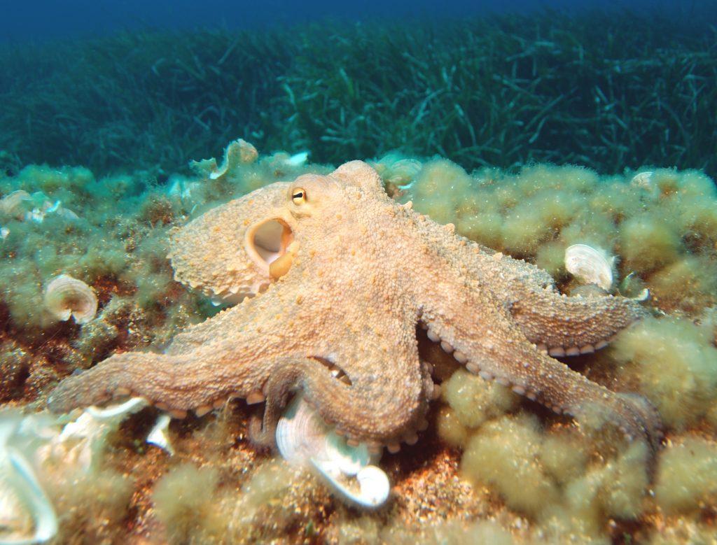"Un esemplare di Octopus vulgaris (""Polpo comune"") tra le alghe (Ph. Albert Kok)"