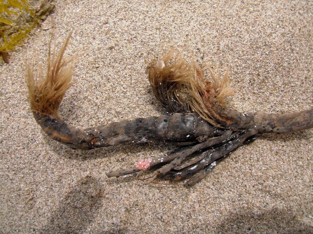 Rizoma di Posidonia oceanica spiaggiato e le sue caratteristiche fibre vegetali (Ph. Tigerente)