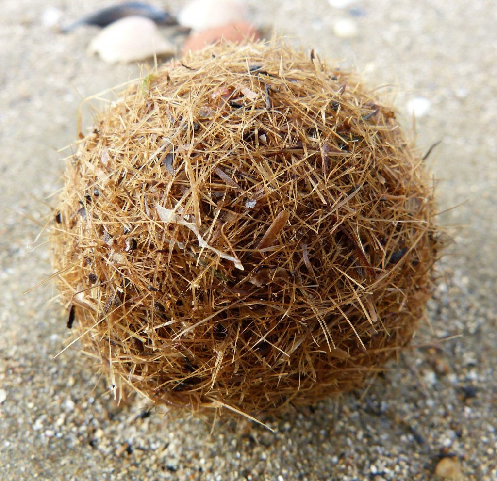Egagropila spiaggiata (Ph. Andrea Bonifazi)