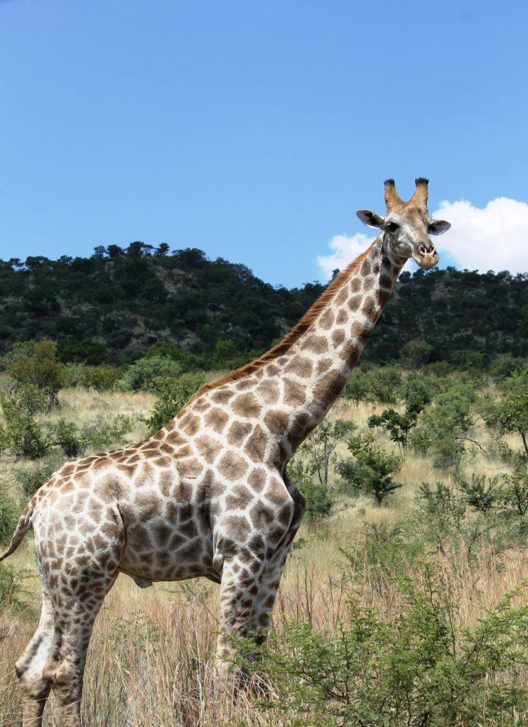 Esemplare maschio di Giraffa reticulata  presso Pilansberg National Park, Sudafrica. Foto di M.C. Giuditta e E. Lorenzo