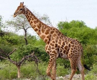 Giraffa meridionale (Giraffa giraffa)