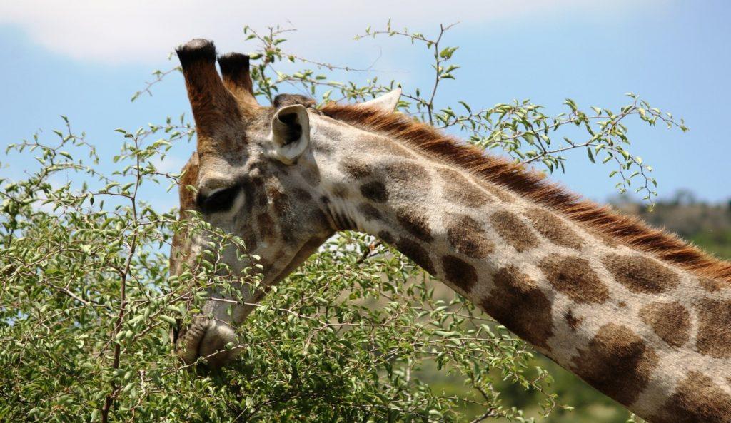 Giraffa reticulata presso Pilansberg National Park, Sudafrica. Foto di M.C.Giuditta e E.Lorenzo
