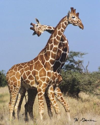 Giraffa settentrionale (Giraffa camelopardalis)