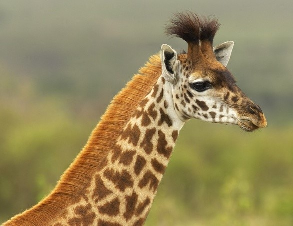 Masai giraffa (Giraffa tippelskirchi)