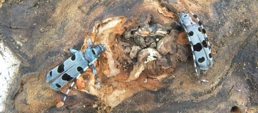 3. Rosalia Alpina su un legno in decomposizione. (Foto di Massimiliano Capalbo).