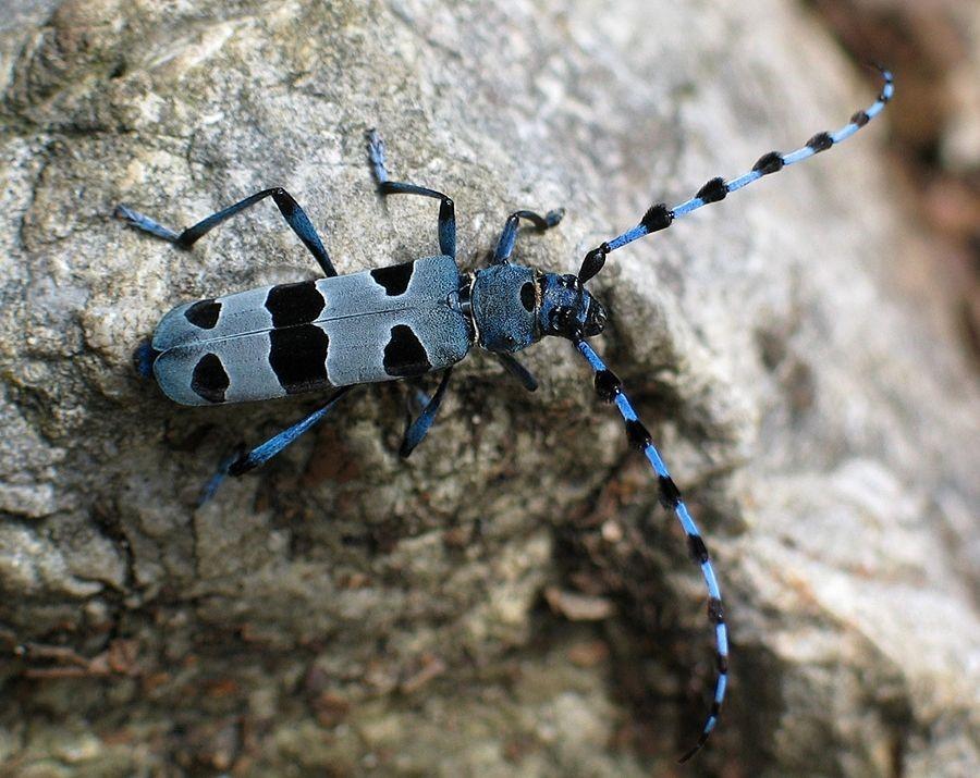 2. Rosalia Alpina su uno sperone roccioso. (Foto di Peter Krimbacher).