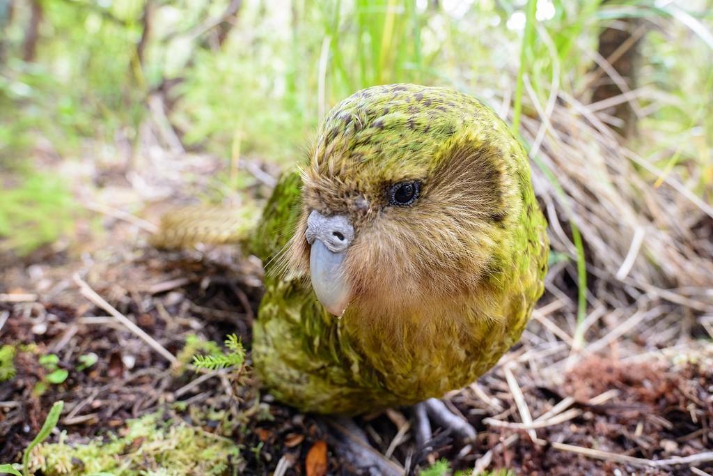 Un pappagallo da tutelare: il Kākāpō